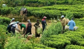 Sri Lanka tea output up in 2017 for first time in four years