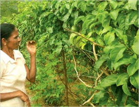 A project to create Fruit villages in Kurunagala District