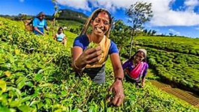 Sri Lanka targets over US $ 3bn from tea exports by 2030