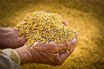 Over 50,000 metric tons paddy purchased