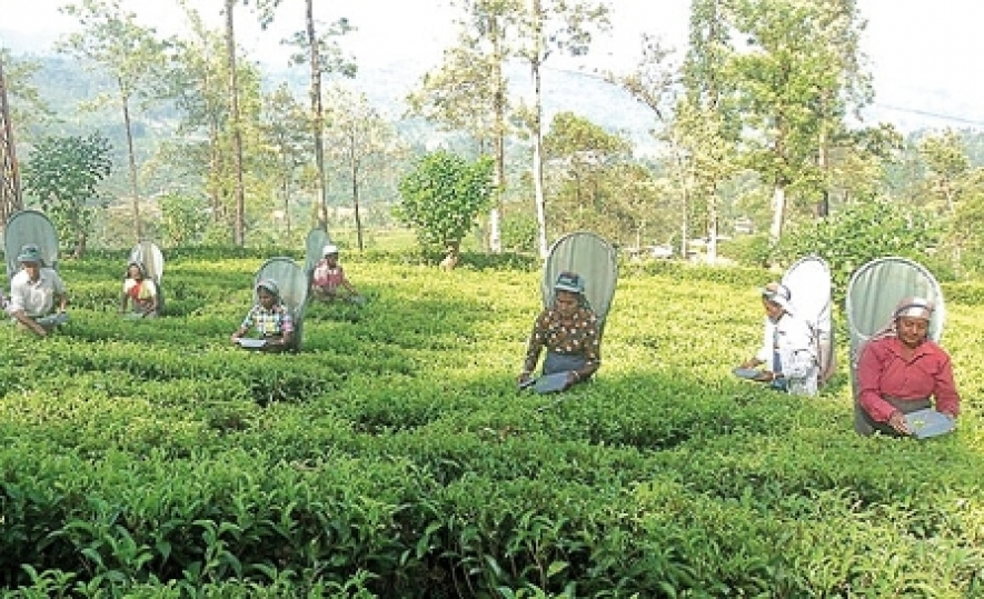 Govt allocates Rs 1 bn for tea replanting