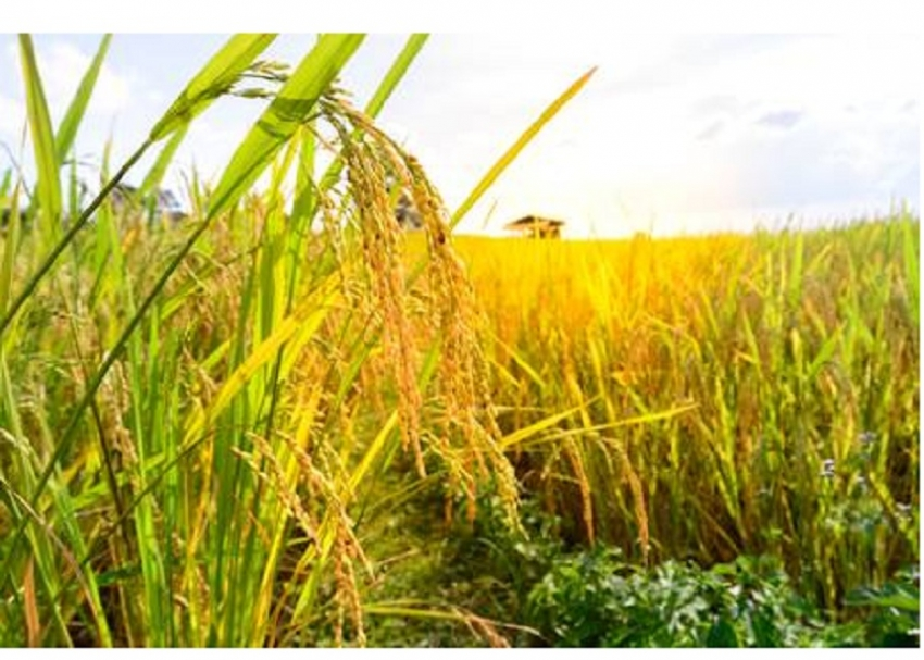 2018 rice harvest rebounds 82-% to 4.2mn tonnes