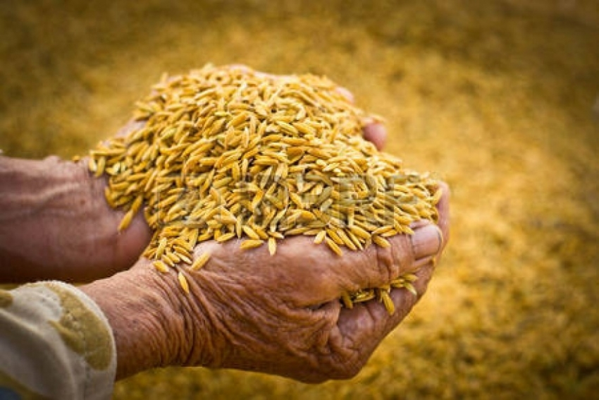 PMB purchased 11,642 MT of paddy from  North