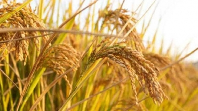 Purchase price of paddy to increase