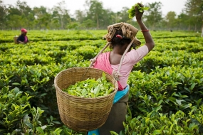 Tea export earnings rise 26% in 2017