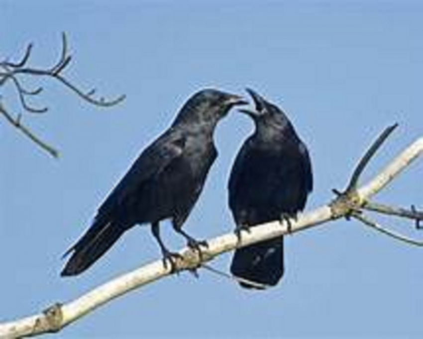 Crows  the smartest animal other than primates