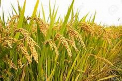 Government to implement Paddy Purchasing  for Maha Season