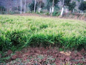 Ginger Cultivation in Kurunegala District a success