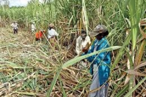 Drought Relief to 1700 sugarcane farmer families