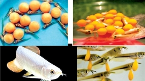 Sri Lanka breeds arowana successfully in Polonnaruwa