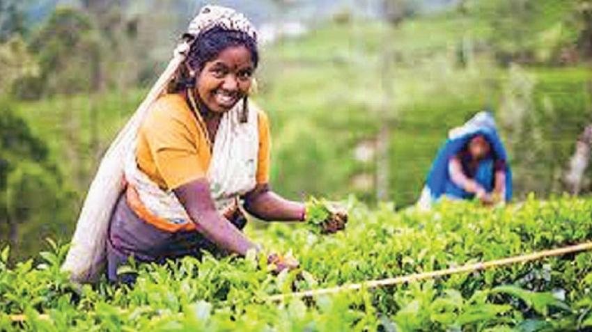 Tea export revenue for 2018 dips 2%