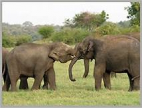 President instructs to keep the two rare elephants in Sinharaja forest