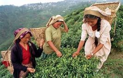 January tea exports up by 13% while production declines
